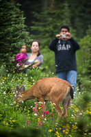 Tourists and deer at Mt Rainier